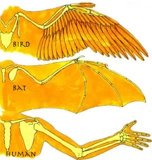 Analogous function but different solutions to arms and wings (source: http://mrsgebauer.com/bats/birds/bird.html)